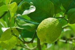 limonki młode drzewa Obraz Stock