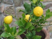 Limons Zdjęcie Royalty Free
