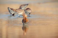 Limosa à queue noire de limosa de barge marchant dans l'eau à la recherche de la nourriture Photos stock
