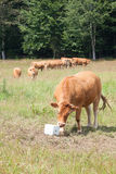 Limousin beef cow eating salt lick mineral supplement Stock Images