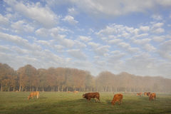 Limousin bull and cows in dutch meadow before autumn forest in w Royalty Free Stock Image