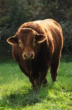 Limousin bull. This is a very muscular and strong Limousin bull spotted in burgundy, France. I definitely would not like to stand in front of him without any Stock Image