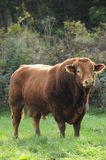 Limousin bull. This is a very muscular and strong Limousin bull spotted in burgundy, France. I definitely would not like to stand in front of him without any Stock Photo