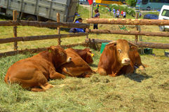 Limousin Bulls at Livestock Fair Stock Photos