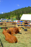 Limousin Bulls at Livestock Fair Stock Image