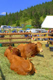 Limousin Bulls at Livestock Fair Stock Photography