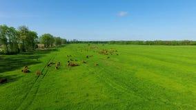 Limousin bydło na polu zbiory wideo