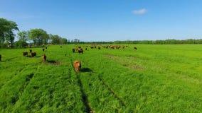 Limousin bydło na polu zdjęcie wideo