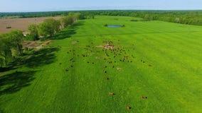 Limousin bydło na polu zbiory