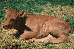 Limousin calf Stock Photo