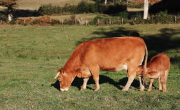 Limousin calf suckling in evening light Royalty Free Stock Images