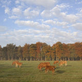 Limousin calves and cows in meadow before autumn forest in morni Stock Photos