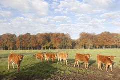 Limousin calves in meadow before autumn forest in morning mist Stock Photography