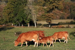 Limousin Cattle on an autumn evening. Limousin cattle graze in a pasture lit by the last rays of the autumn evening sun with a young calf suckling his mother in Stock Image