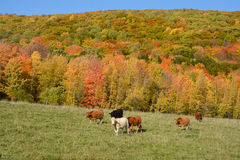 Limousin cattle. Are a breed of highly muscled beef cattle originating from the Limousin and Marche regions of France. Bromont Eastern Township Quebec Canada Royalty Free Stock Images
