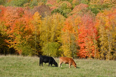 Limousin cattle. Are a breed of highly muscled beef cattle originating from the Limousin and Marche regions of France. Bromont Eastern Township Quebec Canada Stock Images