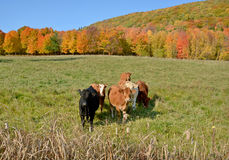Limousin cattle. Are a breed of highly muscled beef cattle originating from the Limousin and Marche regions of France. Bromont Eastern Township Quebec Canada Stock Image