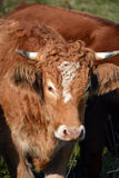 Limousin cattle. Are a breed of highly muscled beef cattle originating from the Limousin and Marche regions of France. Bromont Eastern Township Quebec Canada Stock Photo