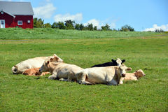 Limousin cattle Royalty Free Stock Photography
