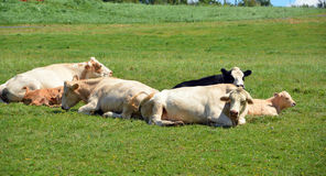 Limousin cattle Royalty Free Stock Photos