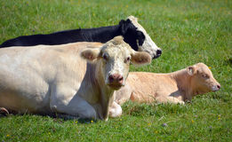 Limousin cattle Stock Photography