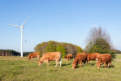 Limousin cattle grazing near a wind turbine in evening light Royalty Free Stock Image