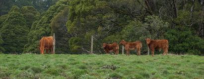 Limousin cattle, in the paddock, Otway, Victoria, Australia, Augriculture, Farm animals, cows, calves royalty free stock images