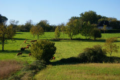 Limousin countryside with cows. Stock Photo