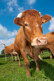 Limousin cow Royalty Free Stock Photography