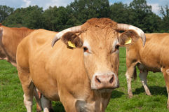 Limousin cow Stock Photo