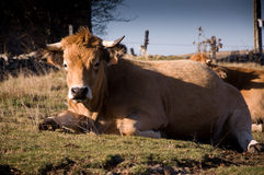 Limousin cow. Lying in a field Stock Image