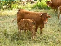 Limousin cow and calf Royalty Free Stock Image