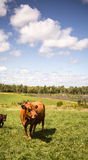 Limousin cow Stock Image