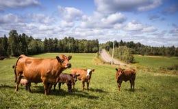 Limousin cow Stock Photos