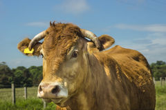 Limousin Cow Royalty Free Stock Photo