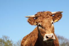 Limousin Cow Head Portrait Stock Photo