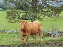 Limousin Cow. This image is of a Limousin cow taken on a farm in forquar, outside the town of Milford in County Donegal,Ireland.Behind the cow can be seen the Royalty Free Stock Photos