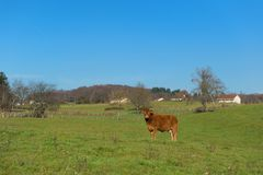 Limousin cow in landscape. Single Limousin cow in green French landscape Stock Photos