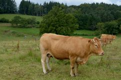 Limousin cow. This cow in a meadouw symbolises the limousin region. the meat is a delicatessen throughout France Royalty Free Stock Image