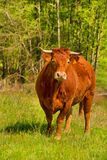 Limousin cows. Brown Limousin cow as typical breed in France Stock Photo