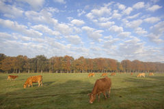 Limousin cows in dutch meadow before autumn forest in warm morni Stock Photos