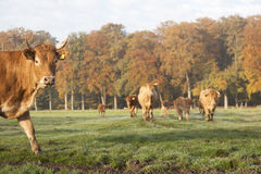 Limousin cows in dutch meadow before autumn forest in warm morni Stock Photography