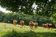 Limousin cows in fields Stock Photography