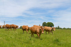Limousin cows in France. Limousin cows in landscape with Little Roman church in French village in Nouvelle-Aquitaine Stock Photography