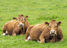 Limousin Cows. In Green Pasture Royalty Free Stock Image
