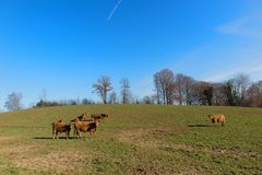 Limousin cows in landscape. Cattle Limousin cows in green French landscape Stock Images