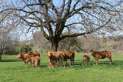 Limousin cows in landscape Stock Image
