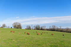 Limousin cows in landscape Royalty Free Stock Image