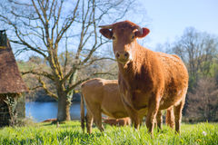 Limousin cows in landscape Stock Photos