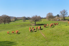 Limousin cows in landscape Royalty Free Stock Photos